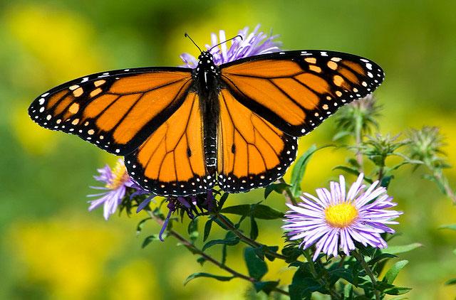 Những điều thú vị về loài bướm xinh đẹp không phải ai cũng biết